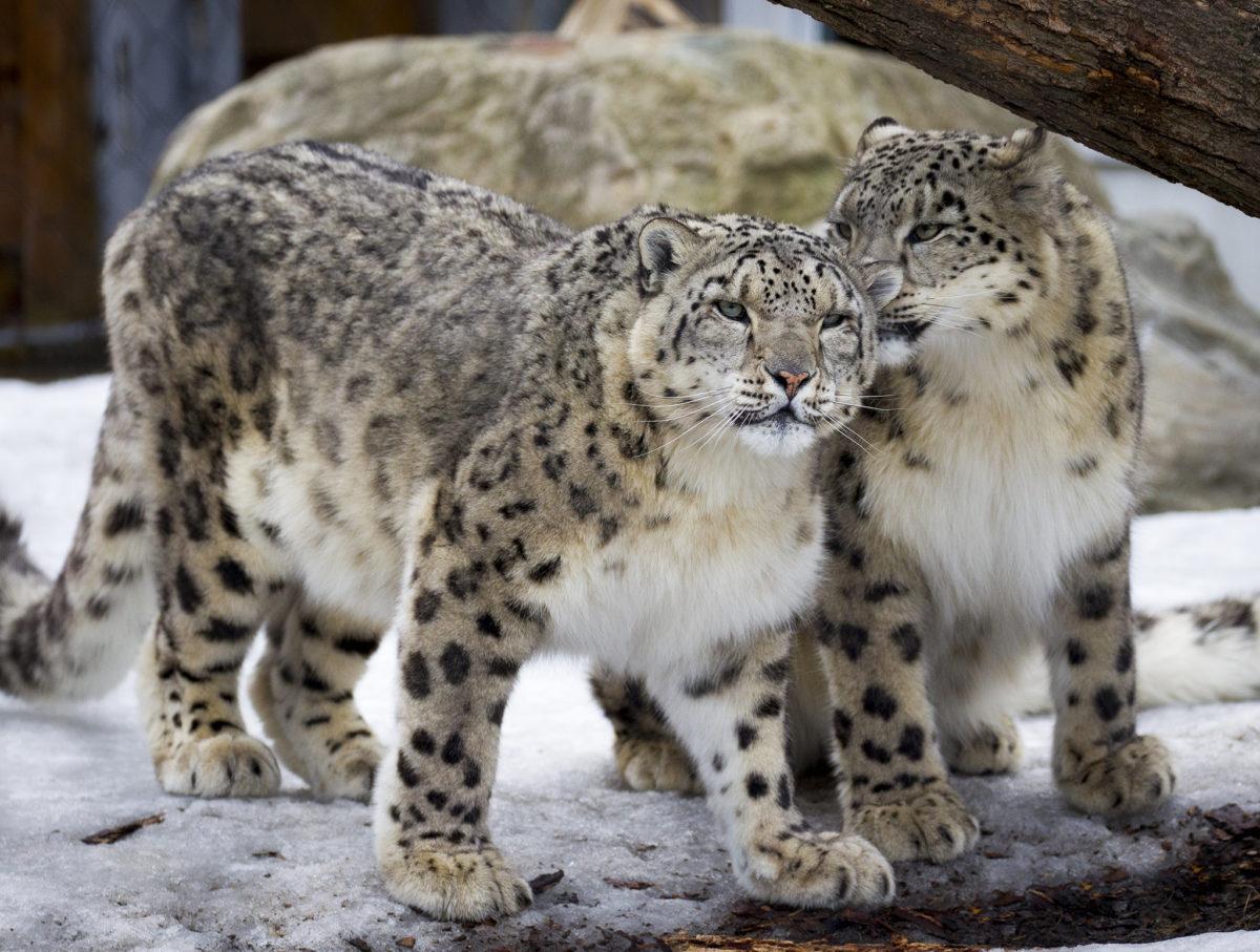 À faire en famille cet hiver - leopard des neiges