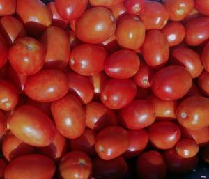 les jardins biologique d'Osiris_tomates_02