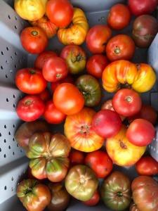 les jardins biologique d'Osiris_tomates_03