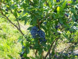 les petits fruits bio_01
